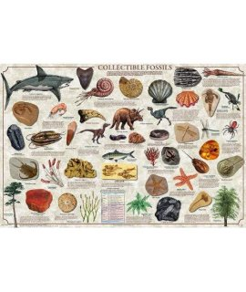 (36 X 24) Collectible Fossils Poster